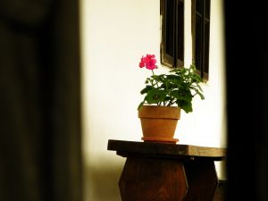kwiat doniczkowy